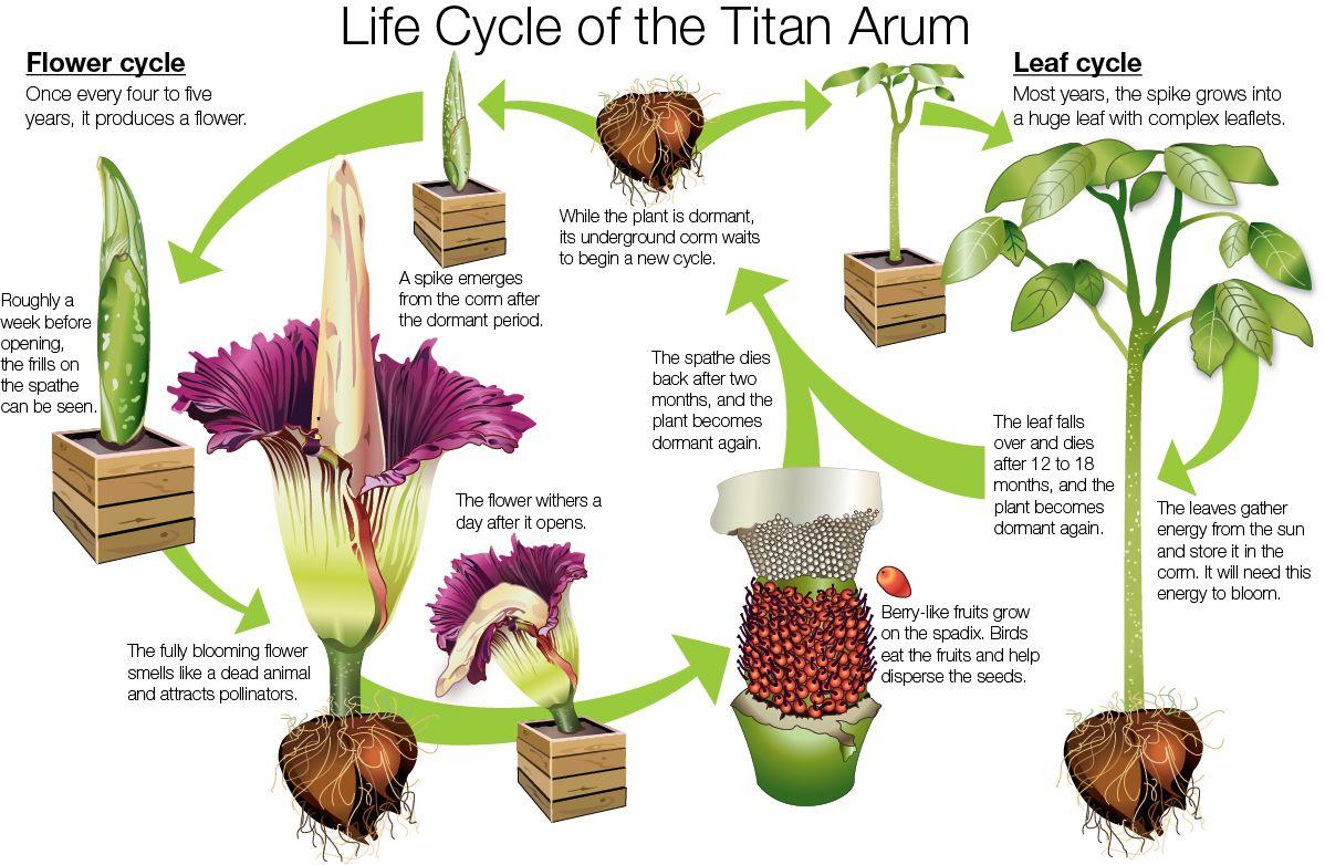 Titan Arum Faq Corpse Flower Titan Arum Amorphophallus Titanum