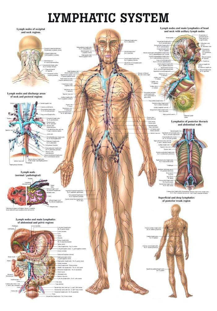 the human lymphatic system laminated anatomy chart | lymphatic, Muscles