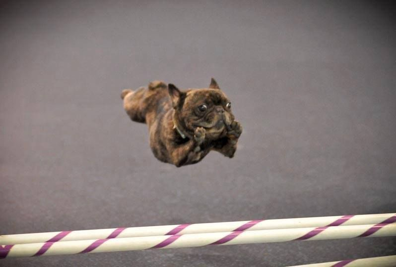 Flying Frenchie Love Love Love Cutest Dog Ever French
