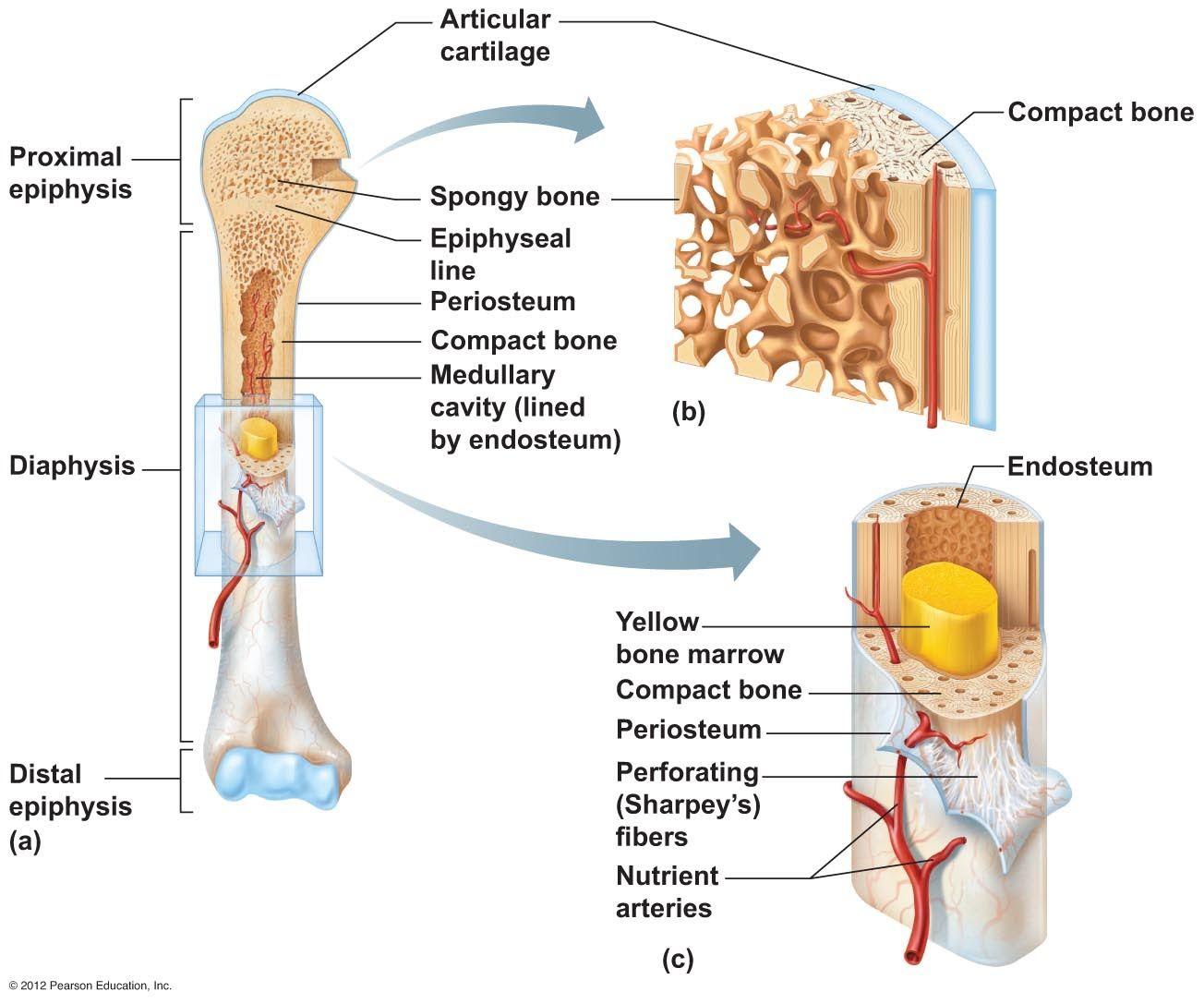 Pin by Neil Motbey on Regional Anatomy & Physiology   Pinterest ...
