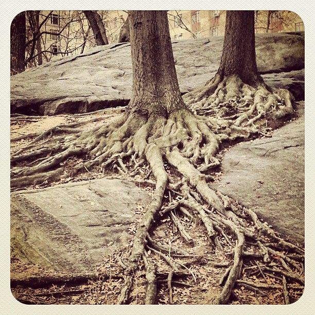 Tree wrapped around tree wrapped around bedrock. Central Park, New York, NY