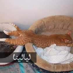 صور قطط مضحكة تنام في أماكن غير متوقعة على الإطلاق Cat Sleeping Cat Sleeping Positions Sleeping Animals
