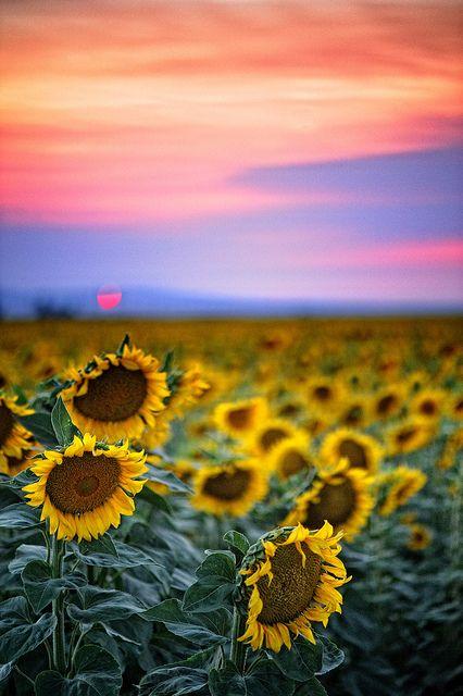 Sunset Sunflower Field Sacramento Valley California