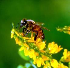 Honey Bee at Work