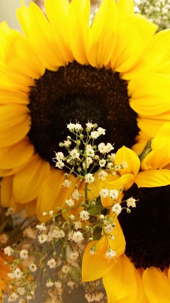 My Favorite Sunflower Photos Sunflower Photo Sunflower Pictures Photo