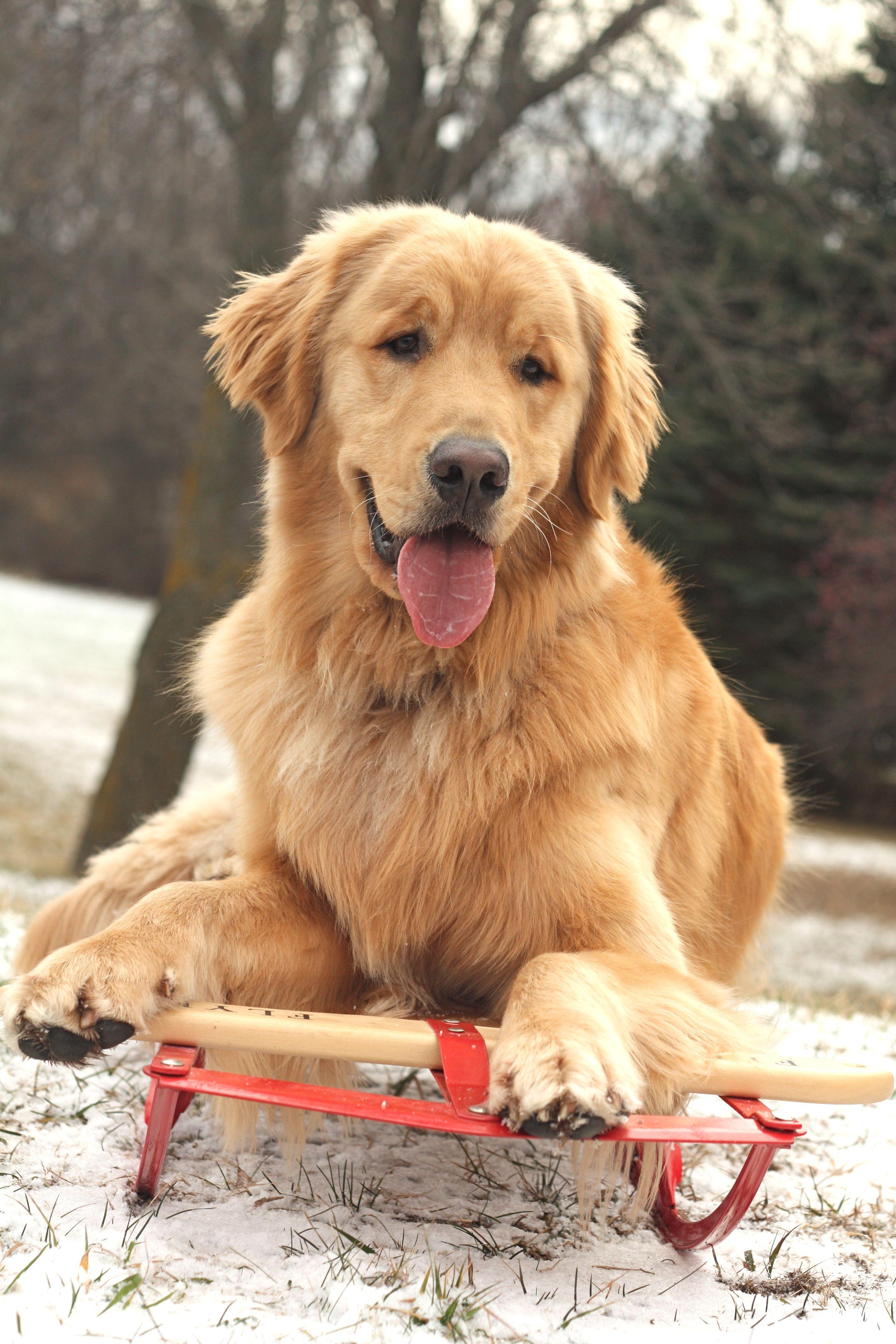 What a nice day. Dogs golden retriever, Golden retriever