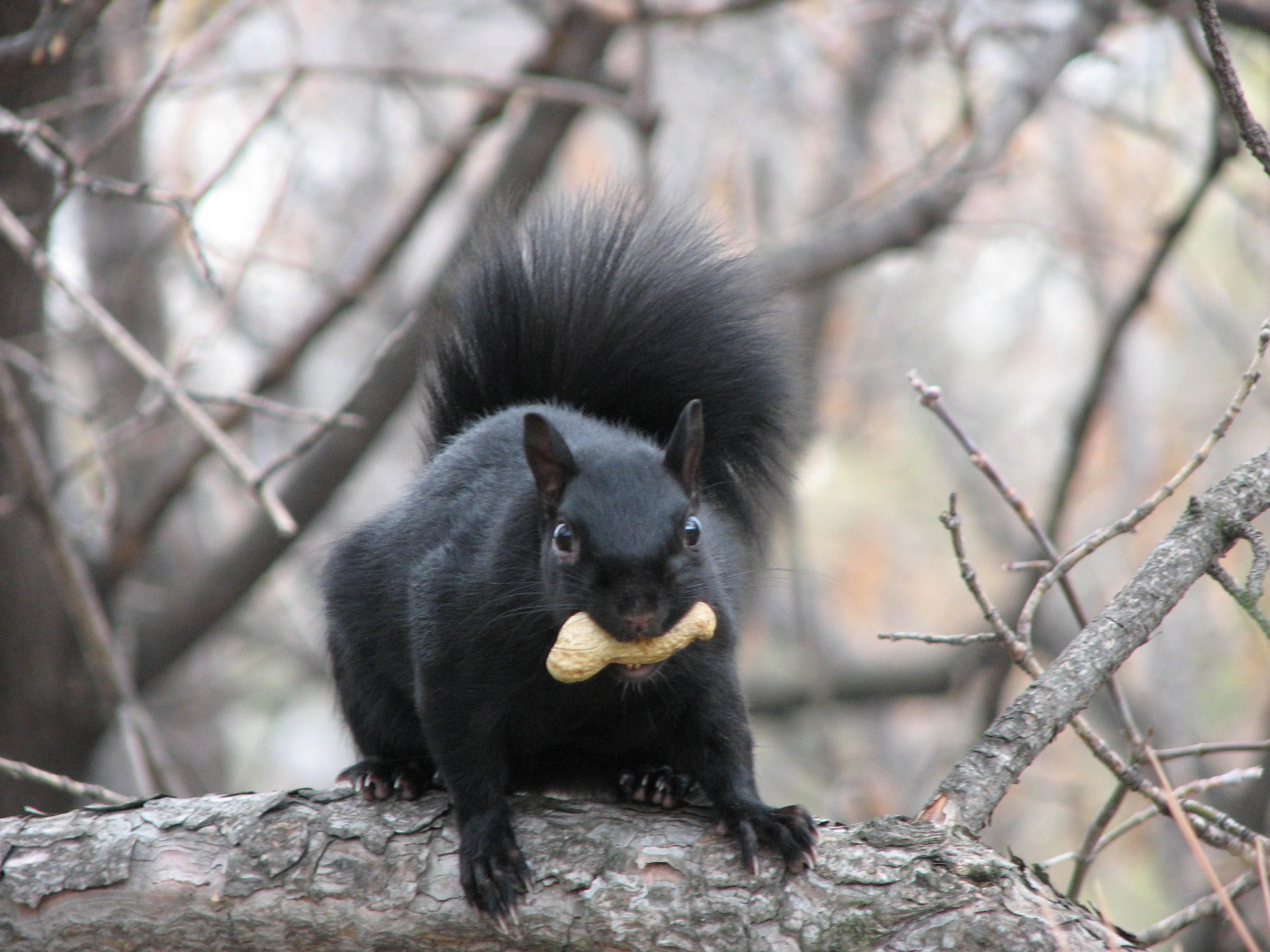 Recently Chicago Residents Have Reported Seeing Black Squirrels Which Are More Common Along The U S Canadian Melanistic Animals Black Squirrel Black Animals