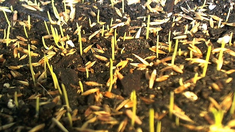 Pix For Gt Grass Seed Germination Seed Germination Grass Seed Germination