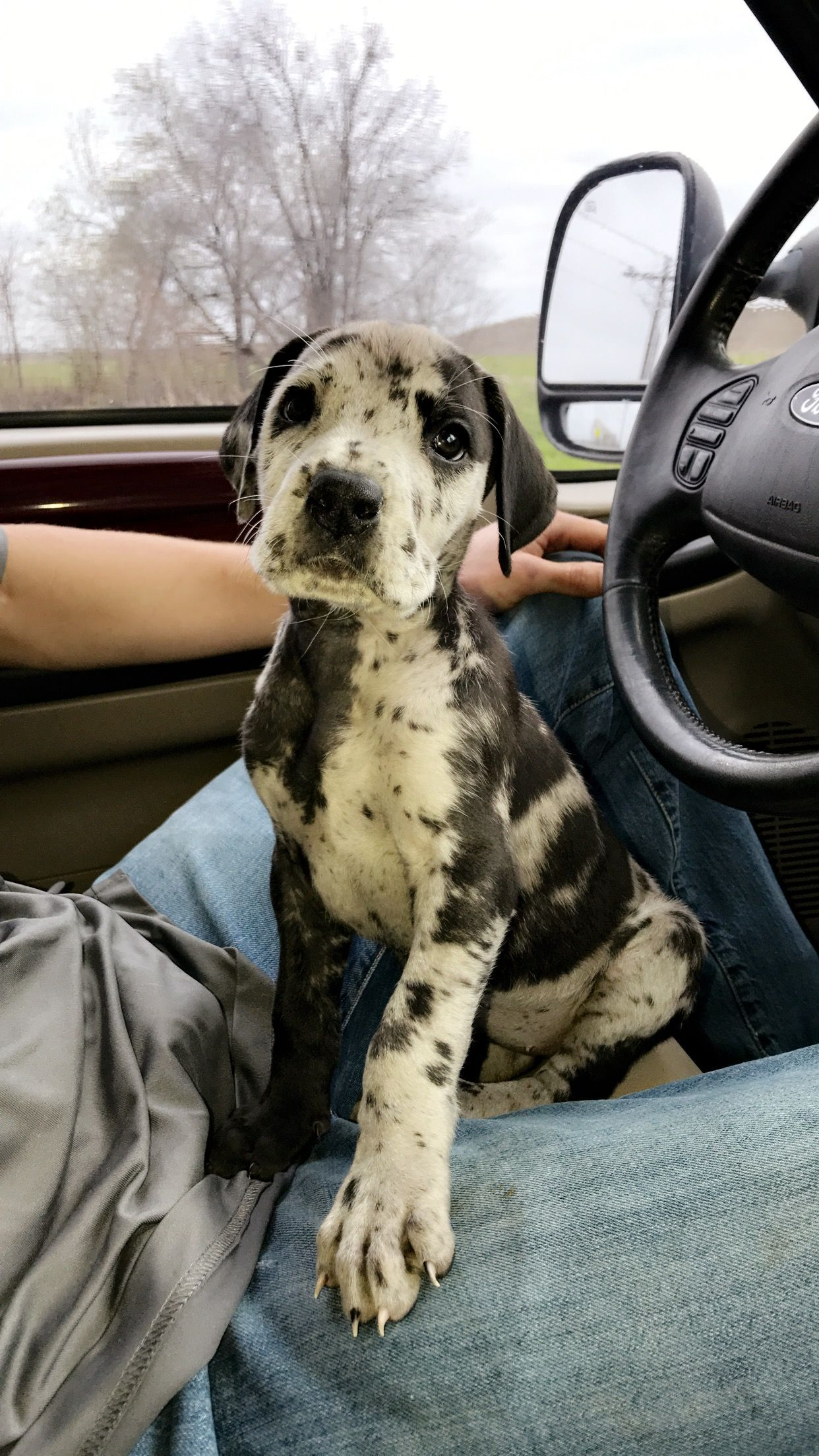 Great Dane Patient And Friendly Dane Puppies Puppies Dane Dog