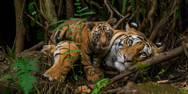 Tigers in Bandhavgarh National Park , India. Photo: Steve Winter/National Geographic