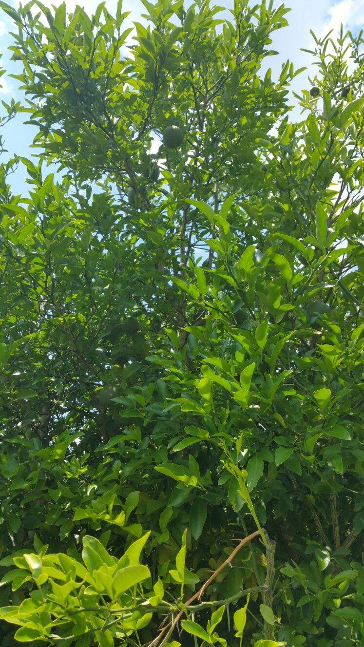 My Lemon Tree is loaded again this year  :)