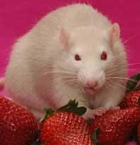 What Do Pet Rats Eat?! | great guide to feeding pet rats