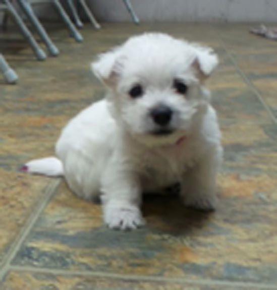 Puppies for sale West Highland White Terrier (Westie