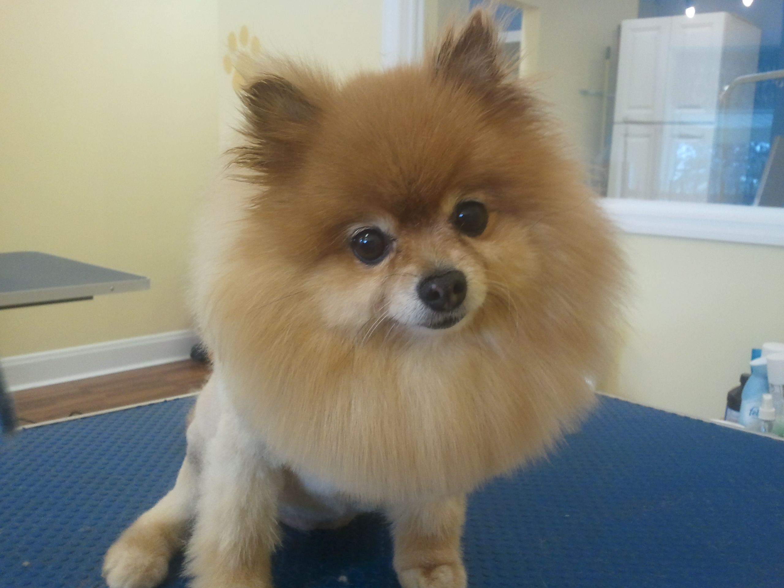 lion pomeranian pomeranian haircut like a lion 8046