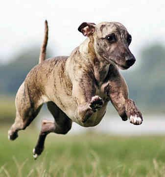 Whippet Dog Breed Pictures Dog Pictures Online Whippet Dog Dog Breeds Dog Breeds Pictures