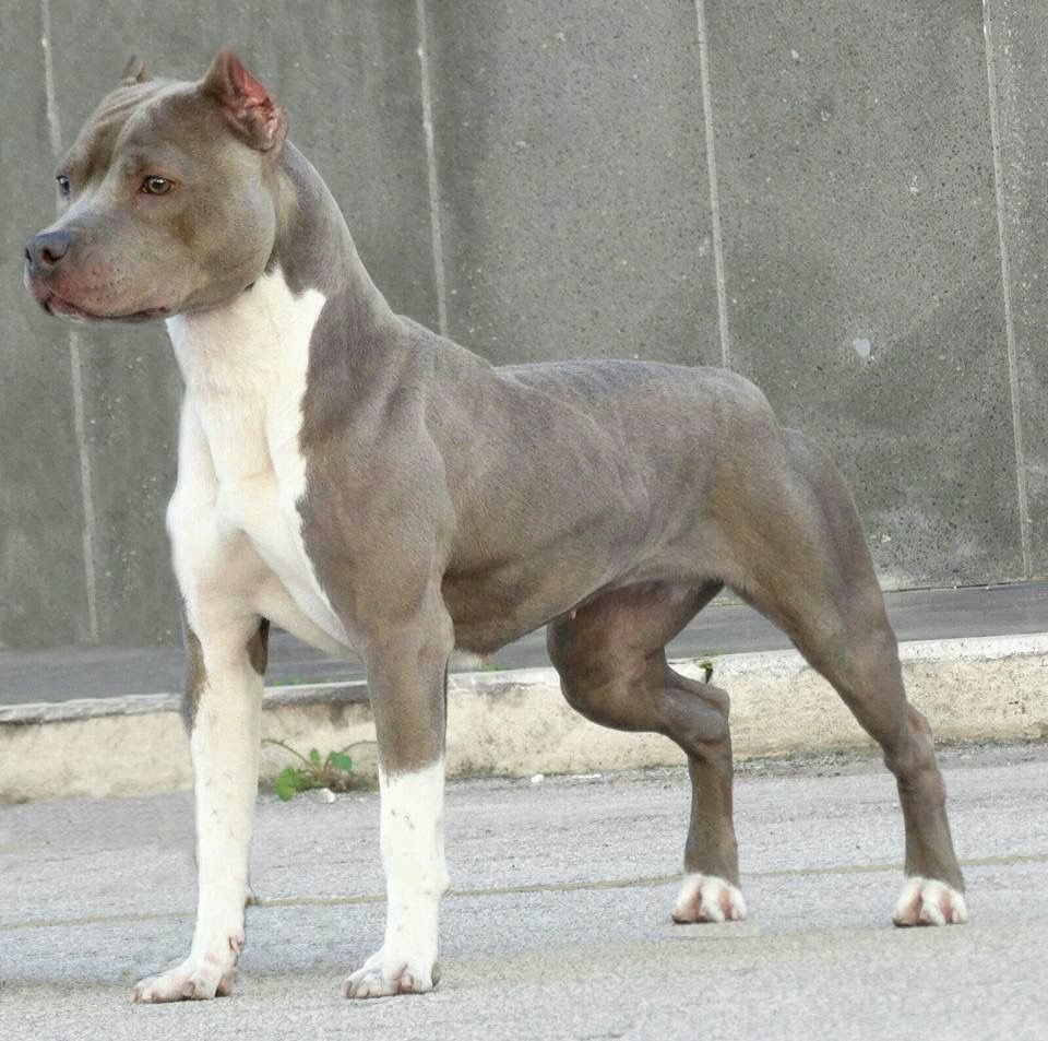 Pin By Benny On American Staffordshire Terrier American Pitbull