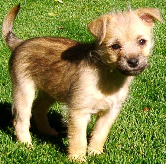 Chihuahua Schnauzer Mix Puppy Min Schnauzer Chihuahua Mix