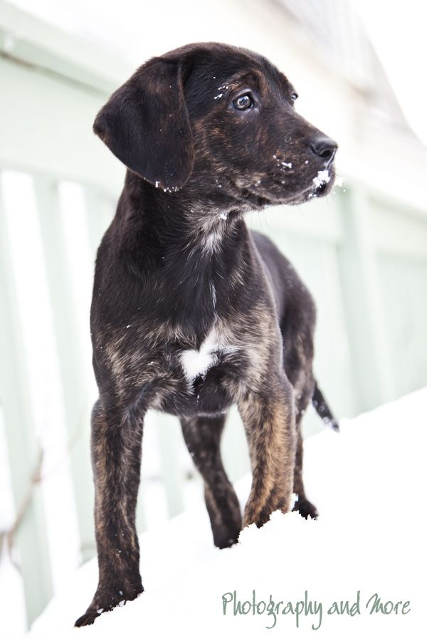 Pictures Of A Mountain Cur Dog