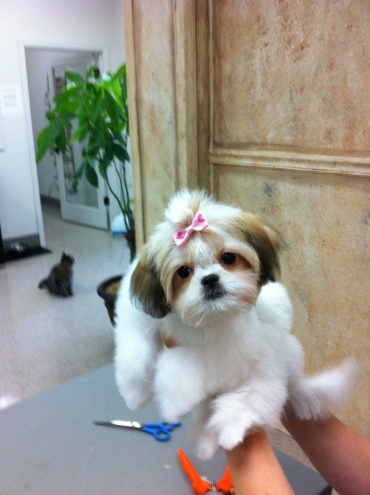 Community Shih Tzu Dog Shih Tzu Puppy