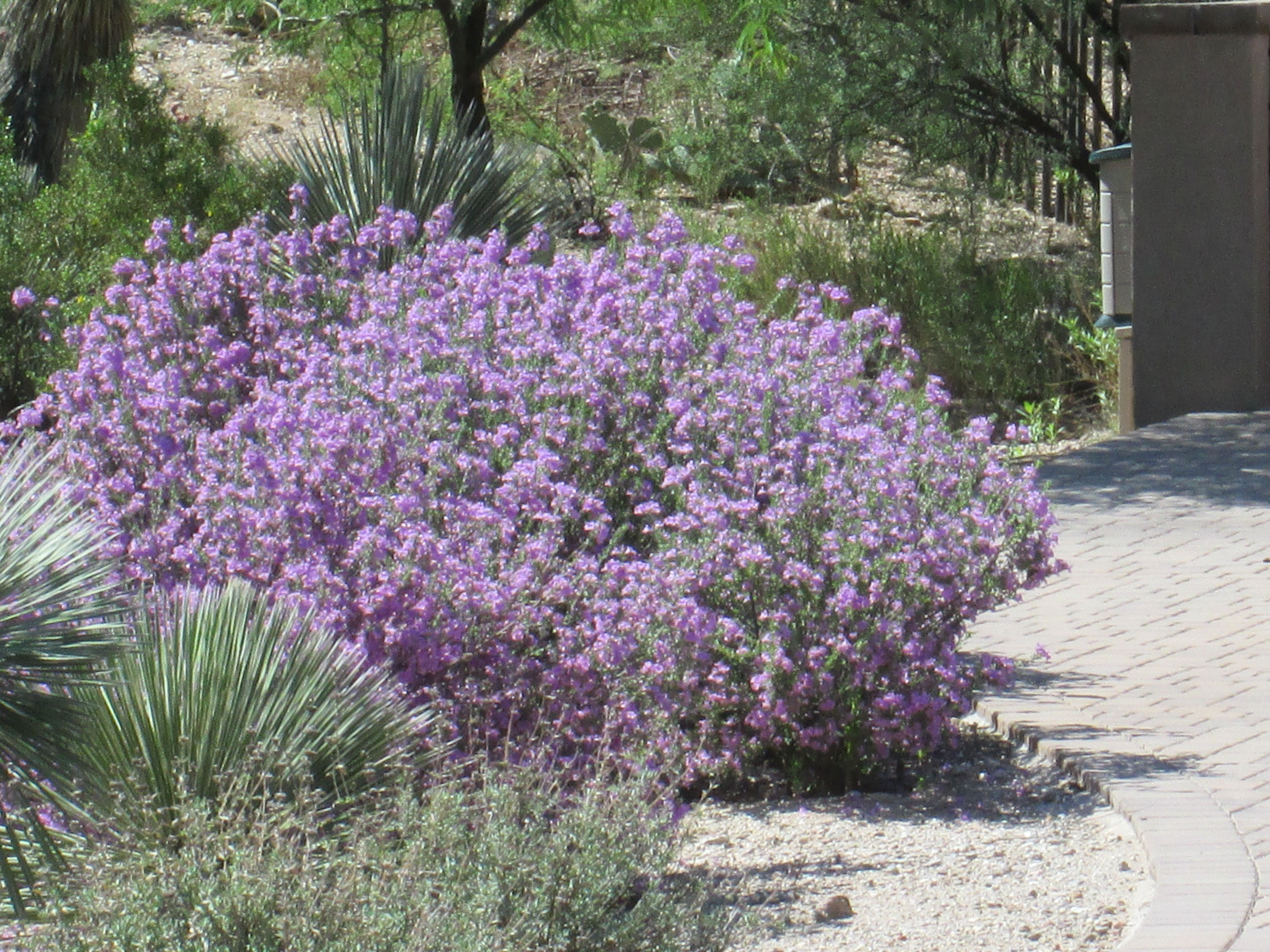 Purple Sage Bush Desert Landscaping Pinterest Gardens Plants