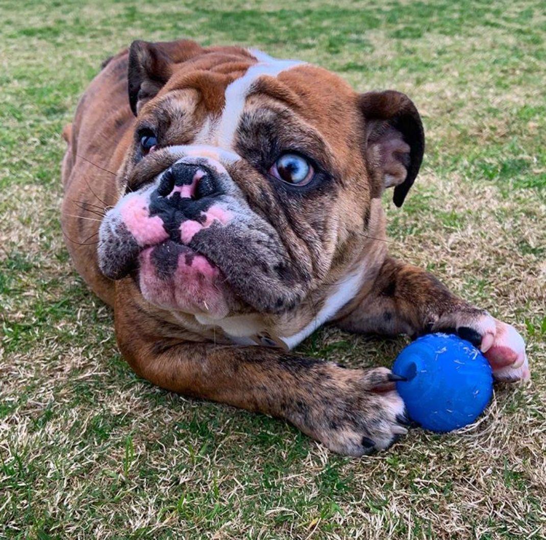 Pin By Carissa Miller On Me Bulldog Puppies English Bulldog