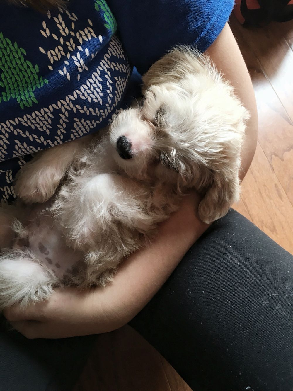 My New Member Of The Family Doodle He Is A Precious Maltese Shih Tzu Chihuahua Poodle Mix Chihuahua Poodle Mix Maltese Shih Tzu Cute Creatures