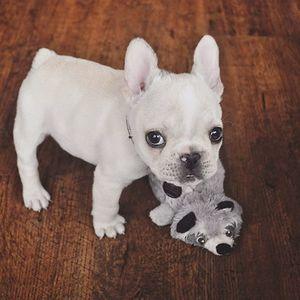 The Little 4lb Nuggetball Tbt Potatowithlegs Bulldog Puppies