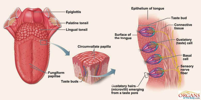 This Diagram Shows The Structure Of The Tongue And Different Parts Of The Tongue A Digestive System Anatomy Human Anatomy And Physiology Human Digestive System