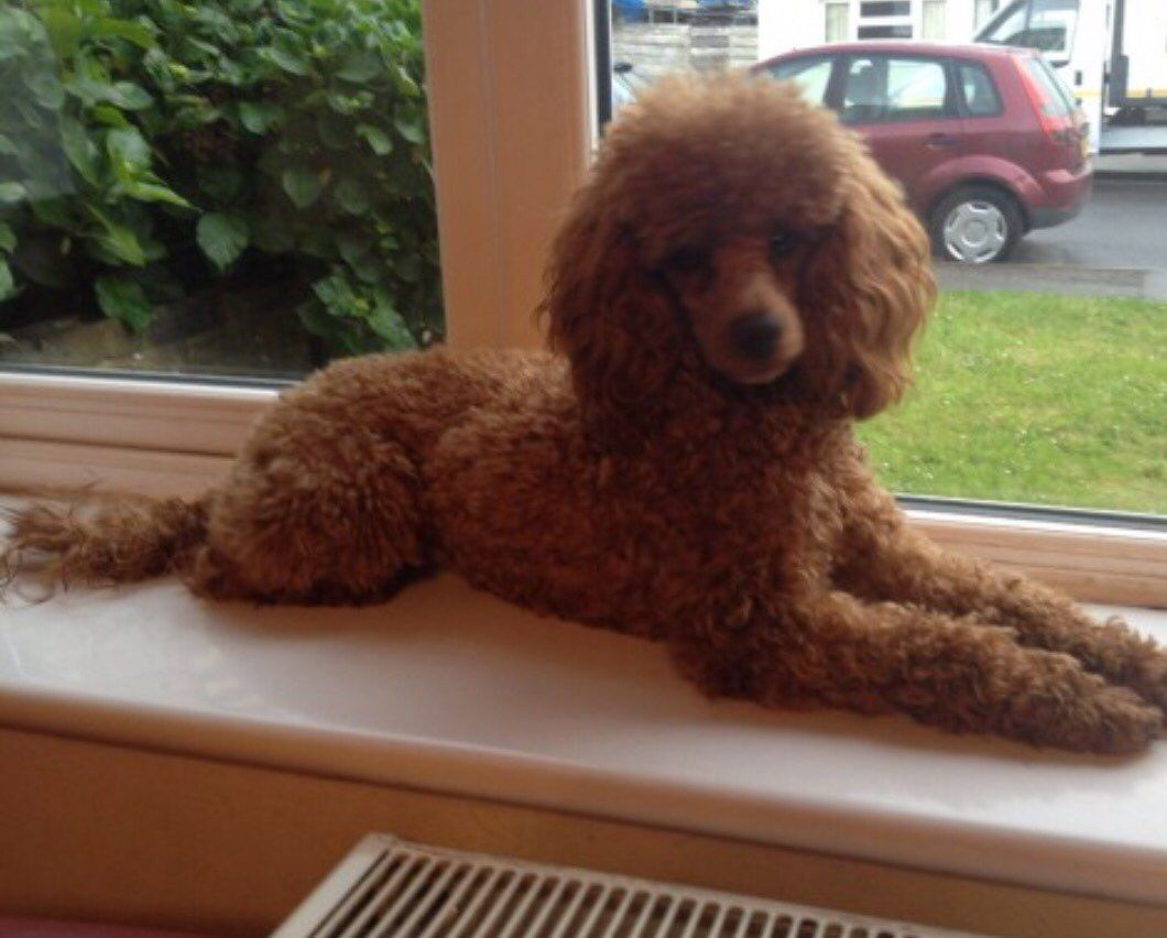 Ted Kc Pra Clear Deep Red Toy Poodle Dna Project Poodle Dna