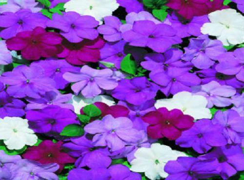 200 Impatiens Seeds Cascade Beauty Blues Mix Seeds Trailing Bulk Seeds Impatiens Flowers Flower Seeds Impatiens Plant