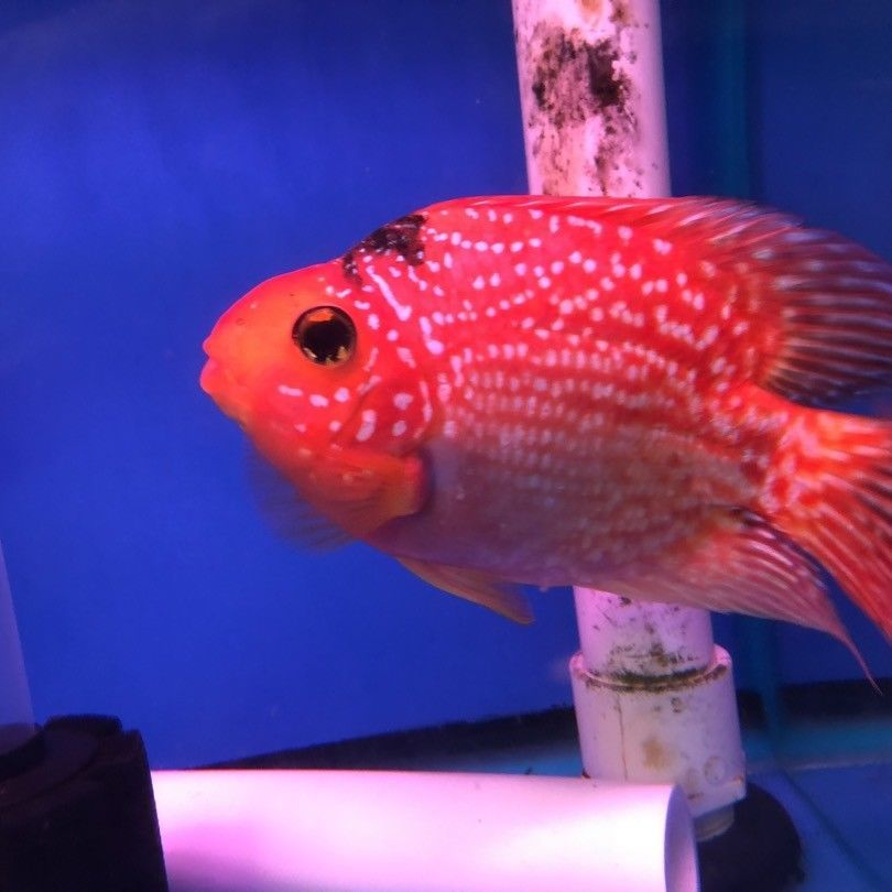 Red Crystal Parrot Parrot Fish Betta Fish Types Freshwater Fish For Sale