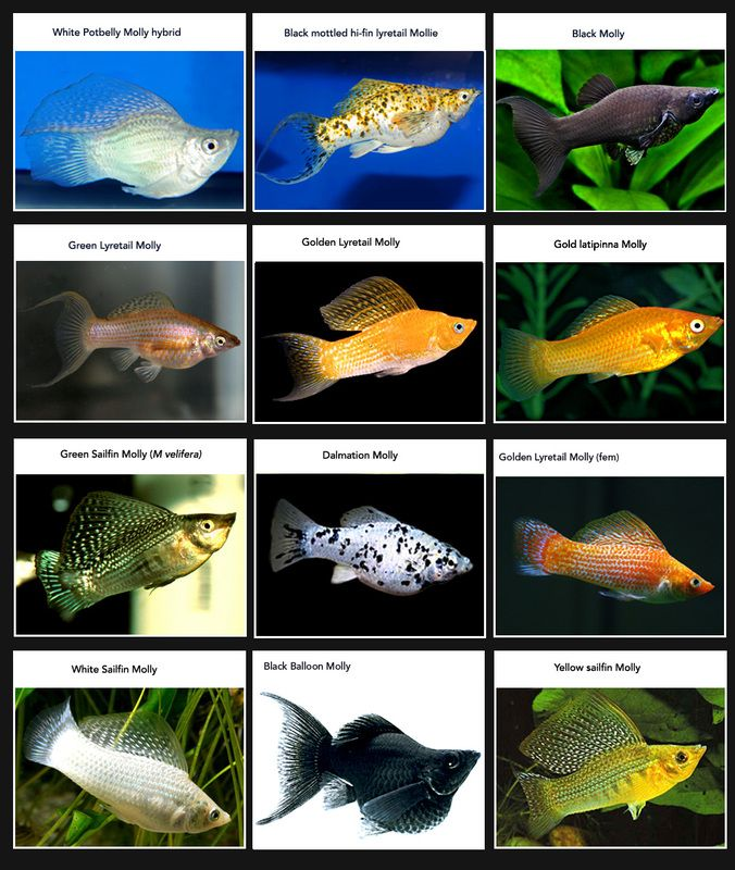 This is a great diagram of the different species of molly for Fish tank fish types