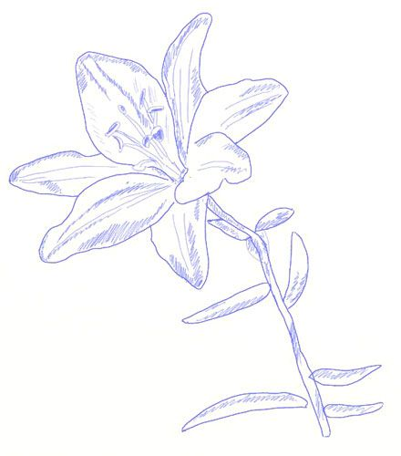 How To Draw A Lily Flower Draw Step By Step Flower Drawing Flower Sketches Lilies Drawing