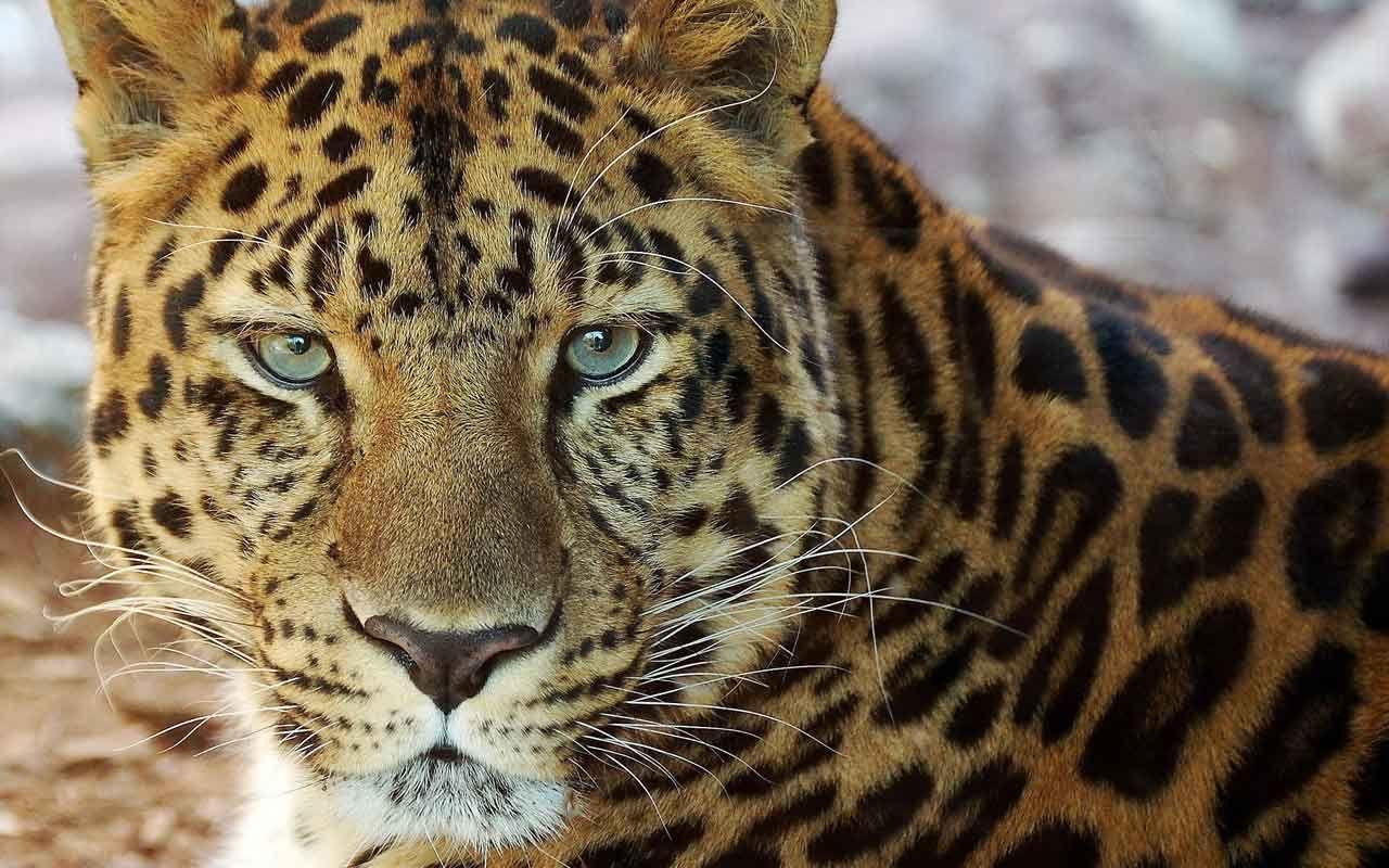 Animales Felino Leopardos Fondo De Pantalla Fondos De: Fotos-animales-tigres-leopardos-felinos-naturaleza-vida