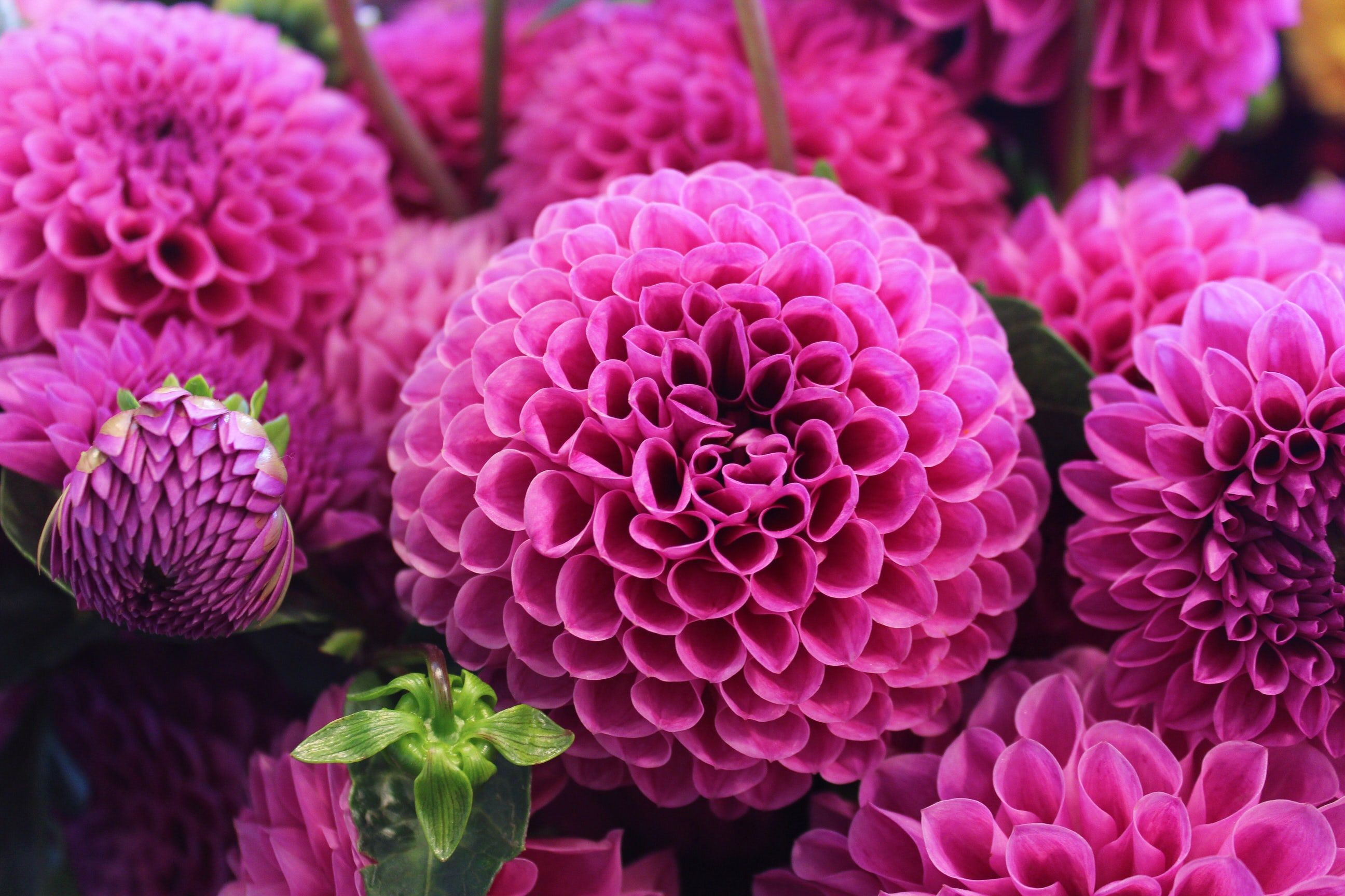 Close Up Of Pink Dahlia Flowers In Full Bloom Natuur Pinterest