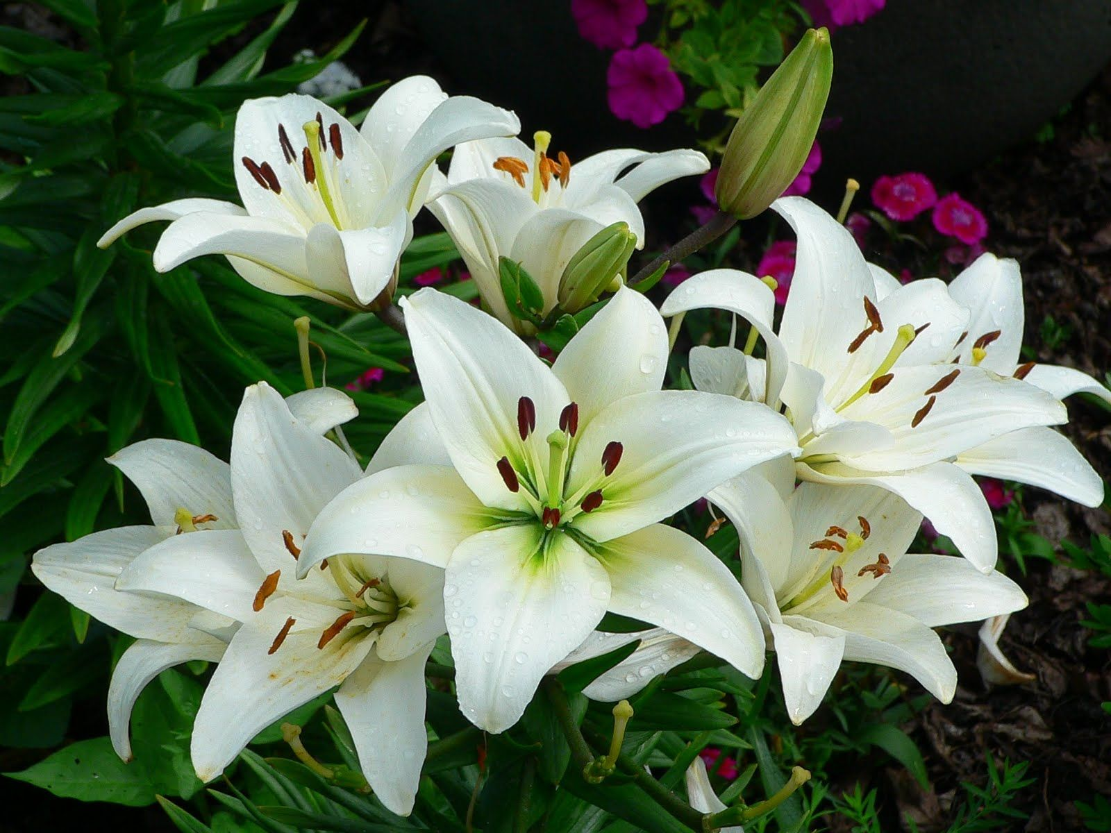 Lily Flowers Gardenyard Pinterest Flowers Lily And Night