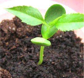 How to germinate apple seeds Apple seeds, Seeds