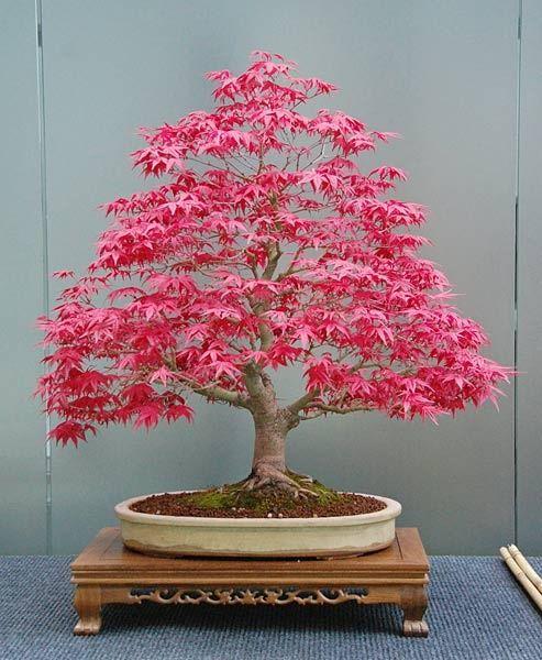 bonsai bonsai pinterest acer palmatum pink and bonsai. Black Bedroom Furniture Sets. Home Design Ideas
