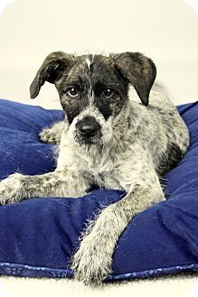 Adopted rina wire haired pointing griffonaustralian cattle dog rina wire haired pointing griffonaustralian cattle dog mix joliet il 3 months old solutioingenieria Image collections