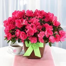 Hot Pink Azalea Pink Azaleas Flower Pots Plant Delivery