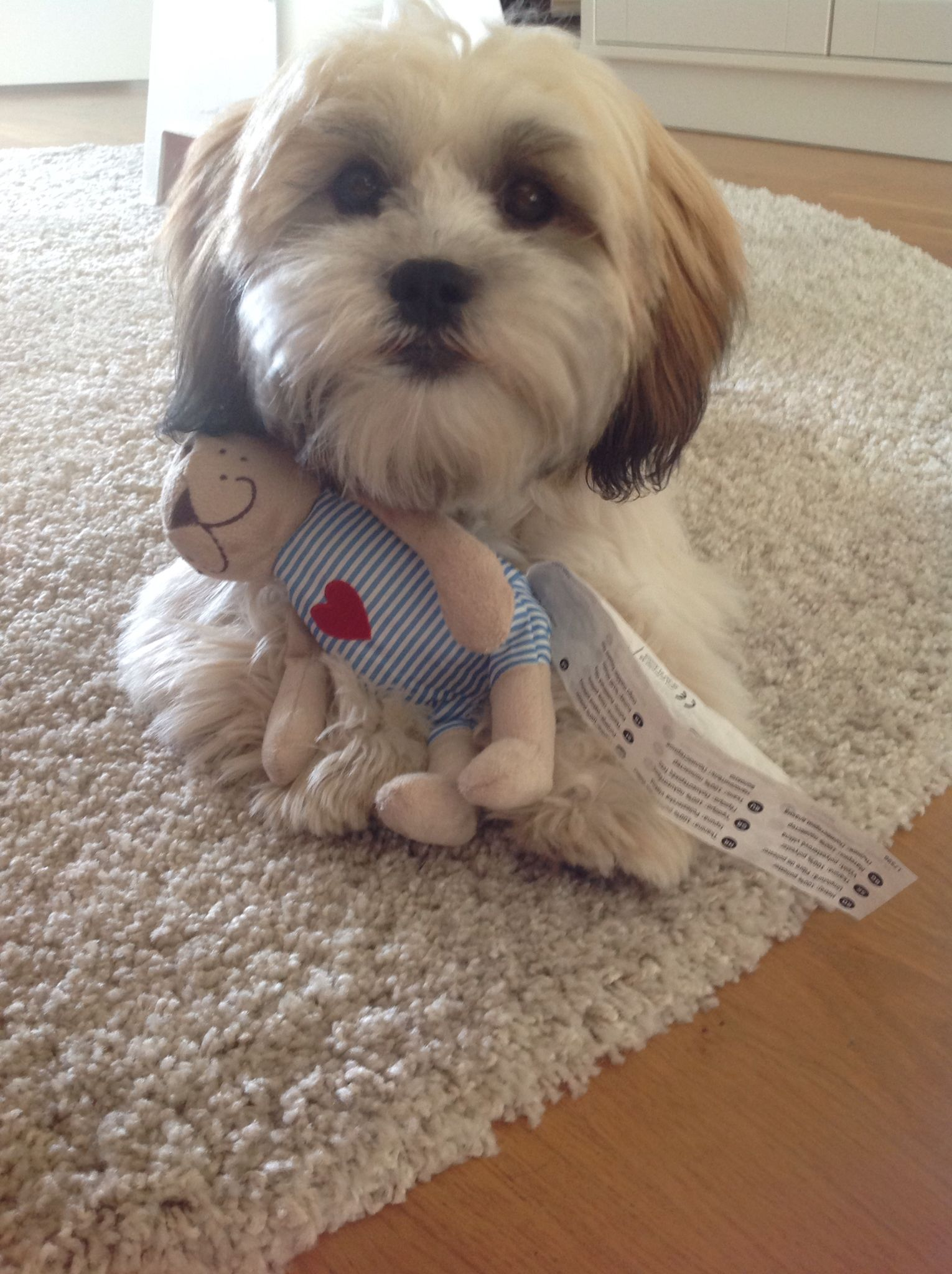 Shichon puppies for sale in kentucky - My Little Moses 7 Months Old Shichon Puppy