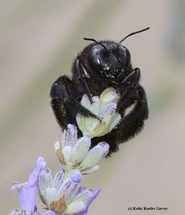 Female Valley Carpenter Bee Xylocopa Varipuncta With Images