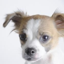 13798_Godiva is an adoptable Papillon Dog in Oakland, CA.   Godiva is id #13798 at the Oakland Animal Shelter . All animals are listed as spayed/neutered, even if they currently are not, since they wi...