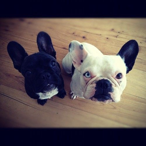Oun 3 With Images Frenchie Frenchie Lovers Funny Animals