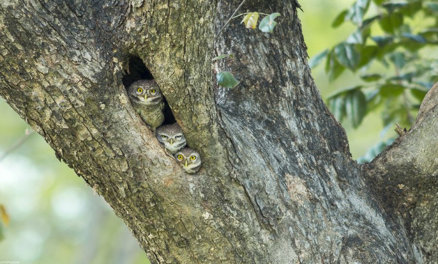 Spotted Owlets by POPUMON TiH on 500px