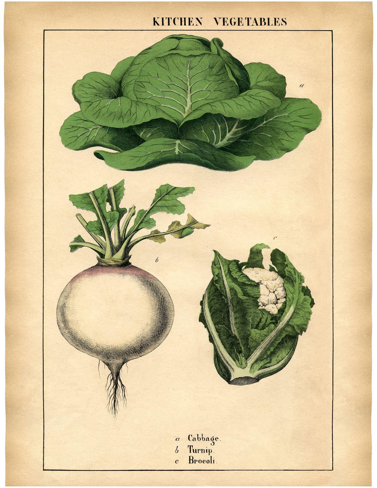 Botanical Printable Cabbage Wonderful Antique Print Botanical