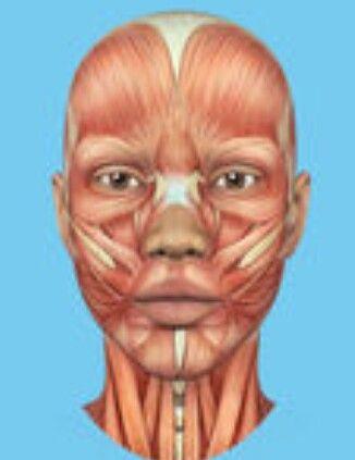Pin de Windy Rothmund en Head & Neck Anatomy   Pinterest