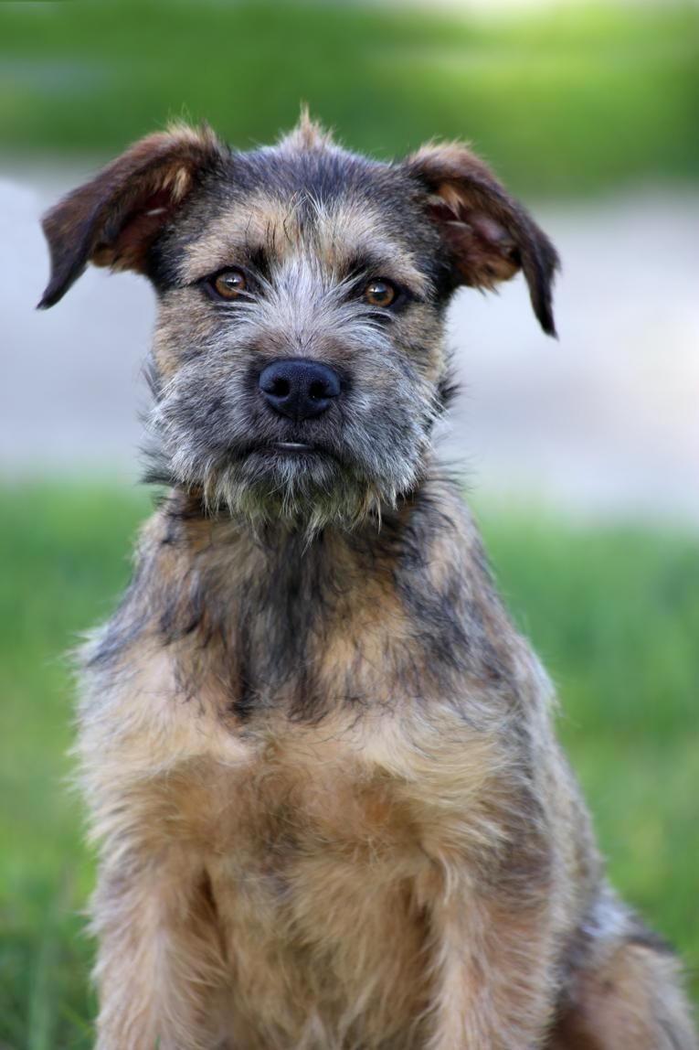 Adopted! Piper Airedale Terrier/German Shepherd Dog mix