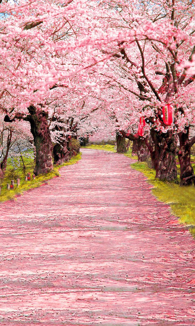 Cherry Blossom Aisle Backdrop Cherry Blossom Wallpaper Beautiful Nature Pink Blossom Tree