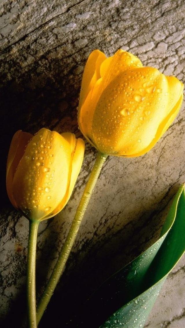Yellow Tulips iphone 5 HD wallpaper Yellow tulips